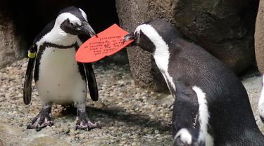 Dua penguin Afrika berebut kartu valentine berbentuk hati di California Academy of Sciences, San Francisco, Rabu (12/2/2020). Penguin secara alami membangun sarang menggunakan kartu ucapan dari bahan itu dan menarik lawan jenis untuk meningkatkan populasi mereka yang terancam punah. (AP/Jeff Chiu)