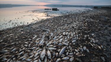 Penampakan ikan mati di tepi Danau Koroneia, Yunani, Kamis (19/9/2019). Puluhan ribu ikan mati saat kekeringan melanda wilayah tersebut. (AP Photo/Giannis Papanikos)