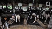 Pekerja saat menyelesaikan pemerahan susu sapi di peternakan Mahesa Perkasa, Depok, Jawa Barat, Minggu (28/3/2021). Permintaan susu sapi perah di masa pandemi Covid-19 masih stabil, namun terkendala harga pakan yang mengalami kenaikan akibat kelangkaan bahan baku. (merdeka.com/Iqbal S. Nugroho)