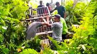 Petugas membawa box trap atau kandang jebak untuk mengevakuasi harimau sumatra dari Desa Teluk Lanus, Kabupaten Siak. (Liputan6.com/Dok BBKSDA Riau)