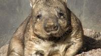 Wombat jenis Lasiorhinus latifrons (Wikimedia Commons)
