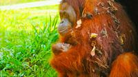 Orangutan yang berhasil dikembangbiakkan BBKSDA Riau di kebun binatang Kota Batam. (Liputan6.com/Dok BBKSDA Riau/M Syukur)