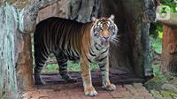 Salah satu Harimau Sumatera yang terpapar COVID-19 di Taman Margasatwa Ragunan (TMR), Jakarta, Minggu (1/8/2021). Gubernur DKI Jakarta Anies Baswedan mengatakan pihaknya akan memastikan kondisi kedua Harimau, Hari dan Tino yang positif COVID-19 pada 15 Juli lalu. (merdeka.com/Herman Zakharia)