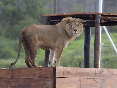 Simba, singa berusia 4 tahun ini berhasil diselamatkan oleh kelompok hak asasi manusia Four Paws dari Suriah dan dilepaskan ke kandang di Lionsrock Lodge and Big Cat Sanctuary di Bethlehem, Afrika Selatan, Senin (26/2). (AP Photo/Themba Hadebe)