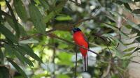 Salah satu jenis burung yang terdapat di Hutan Harapan. (Liputan6.com/Dok. Hutan Harapan/Gresi Plasmanto)