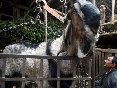 Seekor kambing ditimbang sebelum dijual selama festival keagamaan terbesar bagi umat Hindu di Nepal, Kamis (15/10/2015).  Warga Hindu Nepal merayakannya dengan mengorbankan hewan, menerbangkan layangan dan menyembah Dewi Durga. (REUTERS/Navesh Chitrakar)