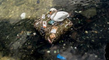 Seekor angsa bersarang di danau dekat Jembatan Ratu Louise, Kopenhagen, Denmark, Selasa (17/4). Sarang yang terdapat sejumlah telur tersebut sebagian terbuat dari sampah yang ditemukan di danau. (Mads Claus Rasmussen/Ritzau Scanpix via AP)