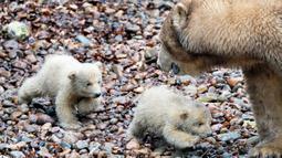 """Dua anak beruang kutub berjalan di sebelah sang induk """"Malik"""" selama tamasya pertama mereka di Kebun Binatang Aalborg, Denmark, 4 Maret 2020. Kebun Binatang ini membiarkan penghuni baru tersebut melakukan langkah pertamanya di dunia luar. (Henning Bagger/Ritzau Scanpix/AFP)"""