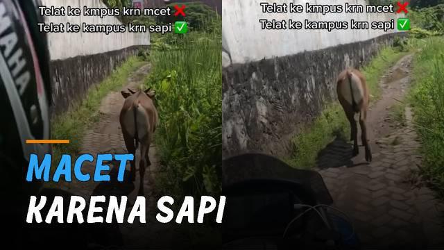 Seekor sapi yang sedang berjalan pelan di sebuah jalan sempit menyebabkan seorang perumpuan terlambat tiba di kampus.