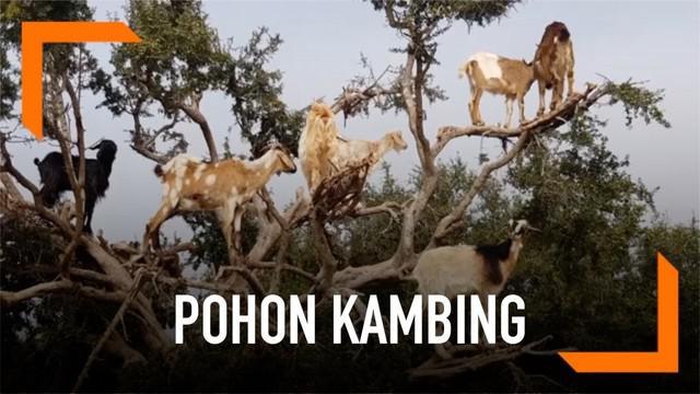 Pohon Argan yang dipenuhi kambing menjadi daya tarik bagi wisatawan di Maroko. Fenomena ini kemudian dimanfaatkan oleh para petani.