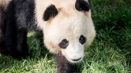 Panda raksasa, Xing Er berada di kandang barunya selama diperlihatkan kepada media di Kebun Binatang Kopenhagen, Denmark, Rabu (10/4). Sepasang giant panda bernama Xing Er dan Mao Sun yang baru tiba dari China menjadi penghuni baru Kebun Binatang Kopenhagen. (Mads Claus Rasmussen/Ritzau Scanpix/AFP)