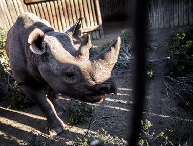 Jaga Populasi, Enam Badak Hitam Dipindahkan dari Afrika Selatan