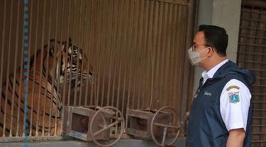 Gubernur DKI Anies Baswedan Jenguk Harimau Sumatera yang Positif Covid-19.
