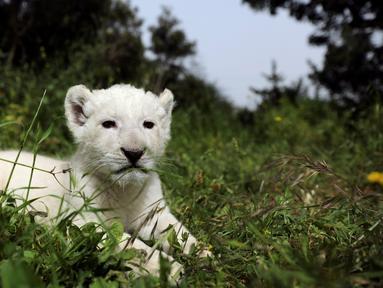 Seekor singa putih yang baru lahir, bernama Simba, terlihat di kebun binatang Paphos, Siprus pada 14 April 2019. Populasi satwa nokturnal tersebut terbilang langka di dunia, tercatat singa putih hanya ada 300 ekor dan 13 diantaranya hidup di alam liar. (REUTERS/Yiannis Kourtoglou)
