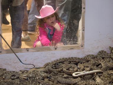 Seorang gadis muda mengintip ke kandang ular derik dalam kompetisi Roundup Rattlesnake Sweetwater di Texas, Amerika Serikat, Sabtu (10/3). Kompetisi tahunan ini dimulai dengan berburu ular derik. (Loren Elliott/AFP)