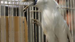 Barang bukti jalak Bali dalam kasus perdagangan satwa dilindungi di Polda Metro Jaya, Jakarta, Rabu (26/9). Polisi mengamankan seekor burung jalak Bali. (Merdeka.com/Imam Buhori)