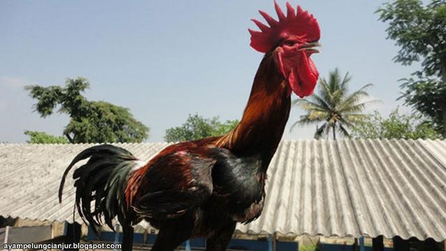 4 Ayam Termahal Asli Indonesia Harganya Rp 40 Juta Per Ekor