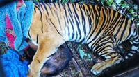 Harimau sumatra di Desa Teluk Lanus, Kabupaten Siak, masuk kandang jebak setelah dipasang umpan kambing. (Liputan6.com/Dok BBKSDA Riau)