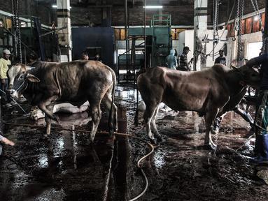 Petugas bersiap menyembelih hewan kurban Idul Adha di RPH Pulogadung, Jakarta, Jumat (31/7/2020). RPH Pulogadung menyembelih 50 sapi dan puluhan kambing dengan proses pemotongan sesuai syariat Islam dan protokol kesehatan guna mencegah penyebaran COVID-19. (merdeka.com/Iqbal S. Nugroho)