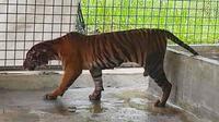 Harimau sumatra bernama Lanustika yang kini menjadi penghuni baru di Pusat Rehabilitasi Harimau Sumatra Dharmasraya. (Liputan6.com/Dok BBKSDA Riau)