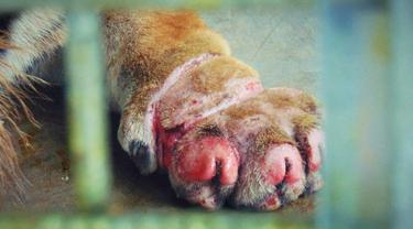 Luka kaki depan Inung Rio karena terjerat kawat babi mulai mengering.