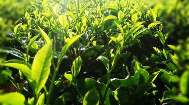 Hamparan teh hijau di area perkebunan kawasan Cigedug, Garut Jawa Barat, memberikan panorama indah bagi siapapun yang menikmatinya