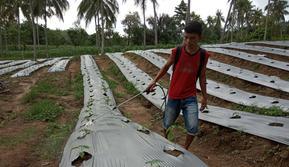 Mahalnya obat anti-hama pada tanaman cabai membuat petani Gorontalo harus memutar otak. (Liputan6.com/ Arfandi Ibrahim)