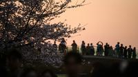 Pengunjung berdiri di jembatan untuk mengambil gambar selama Festival Bunga Musim Semi Yeouido di Seoul, Korea Selatan pada 7 April 2019. Festival Bunga Musim Semi Yeouido menarik banyak turis dan penduduk lokal, berkat kanopi merah muda bunga sakura yang memukau. (Photo by Ed JONES / AFP)