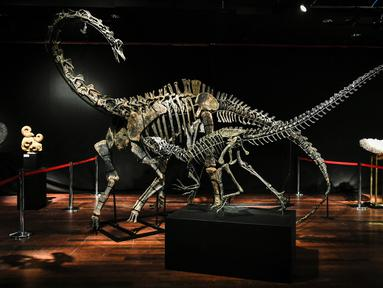 Kerangka dua dinosaurus, Diplodocus (belakang) dan Allosaurus dipamerkan sebelum mulai dilelang di Balai lelang Drouot, Paris, Jumat (6/4). Tulang dinosaurus itu diperkirakan akan terjual mencapai 1,5 juta euro (Rp 25,4 miliar). (STEPHANE DE SAKUTIN/AFP)