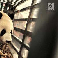 Seekor panda China berada di dalam kandang saat tiba di Terminal Kargo, Bandara Soekarno-Hatta, Tangerang, Kamis (28/9). Panda bernama Cai Tao (jantan) dan Hu Chun (betina) itu didatangkan dengan pesawat kargo Garuda Indonesia. (Liputan6.com/Helmi Afandi)