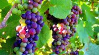 Anggur pelangi merupakan anggur dalam tahap pematangan.
