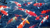 5 fakta menarik tentang ikan koi (foto: istimewa)