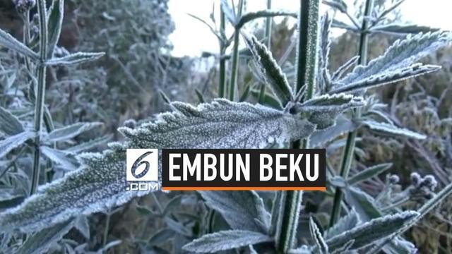 Fenomena embun beku terjadi di kawasan lautan pasir Gunung Bromo, Jawa Timur. Suhu minus 2 derajat Celcius tidak menyurutkan niat para pengunjung untuk melihatnya secara langsung.
