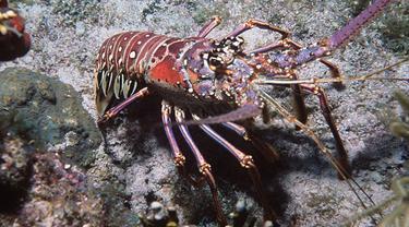 Lobster Ini Bisa Tulis Angka dengan Pulpen, Bikin Geleng Kepala