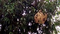 Sarang tawon baluh berukuran jumbo mengantung di Perempatan Jalan Prof DR Suharso Purwokerto, dan kerap menyerang pengguna jalan. (Foto: Liputan6.com/Muhamad Ridlo/ TRC BPBD/BMS)