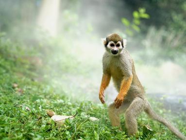 Seekor monyet tupai bermain dalam semburan air di Kebun Binatang Shanghai di Shanghai, China timur (11/8/2020). Suhu tertinggi di Shanghai mencapai 35 derajat Celsius pada Selasa (11/8). (Xinhua/Zhang Jiansong)