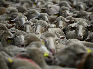 Sekelompok domba digembalakan melewati pusat kota Madrid, Minggu (22/10). Ribuan ekor domba menyesaki jalanan ibu kota Spanyol untuk memperingati ritual migrasi ternak dari lokasi peternakan musim panas ke lokasi musim dingin. (PIERRE-PHILIPPE MARCOU/AFP)