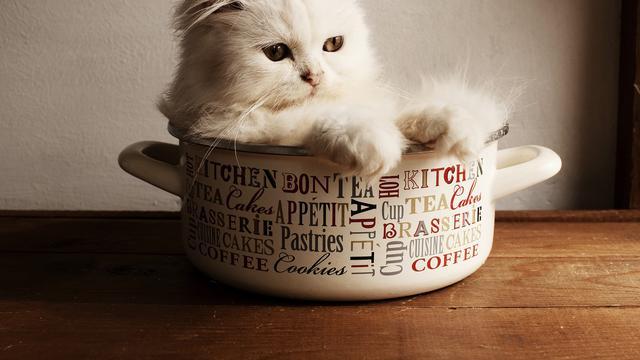 Bulu Kucing Persia