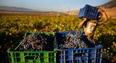 Seorang pekerja Suriah memanen anggur Syrah yang akan difermentasi menjadi arak di Desa Ammik, Lebanon timur, 8 September 2018. Arak khas Lebanon memiliki rasa manis dan kandungan alkohol yang tinggi, sekitar 40 persen. (AP Photo/Hussein Malla)