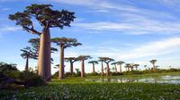 Adansonia digitata atau lebih dikenal dengan nama pohon Baobab dapat ditemukan di Madagaskar, Afrika, dan Australia. Pohon yang sering dijuluki sebagai pohon botol ini memiliki masa hidup hingga lebih dari 1.000 tahun. (superfoodsandsupershakes.com)