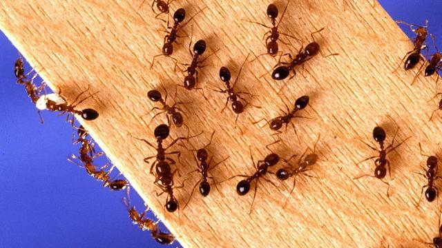 Ilustrasi semut di rumah