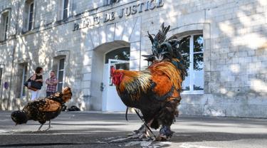 Seekor ayam jantan berdiri di luar pengadilan tinggi (Tribunal de Grande Instance) di Rochefort, Prancis barat, Kamis (4/7/2019). Ayam bernama Maurice tersebut dituduh terlalu berisik oleh tetangganya sehingga menyebabkan polusi suara yang berlebihan. (Photo by XAVIER LEOTY / AFP)