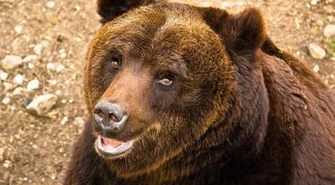 Ilustrasi Beruang