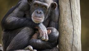 Ilustrasi Induk Spesies Primata dan Mayat Bayinya (Photo by Pixabay)