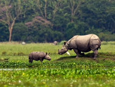 Melihat Badak Bercula Satu India di Suaka Margasatwa Pobitora