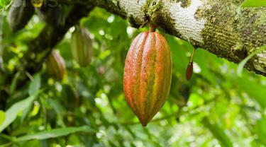 6 Manfaat Buah Kakao Bagi Kesehatan Kita