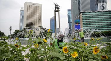Petugas Dinas Pertamanan dan Hutan DKI Jakarta menata bunga matahari pada plater box di Bundaran HI, Jakarta, Jumat (18/6/2021). Pemasangan bunga matahari di kawasan Bundaran HI dalam rangka menyambut HUT ke-494 DKI Jakarta sekaligus mempercantik kawasan tersebut. (Liputan6.com/Faizal Fanani)