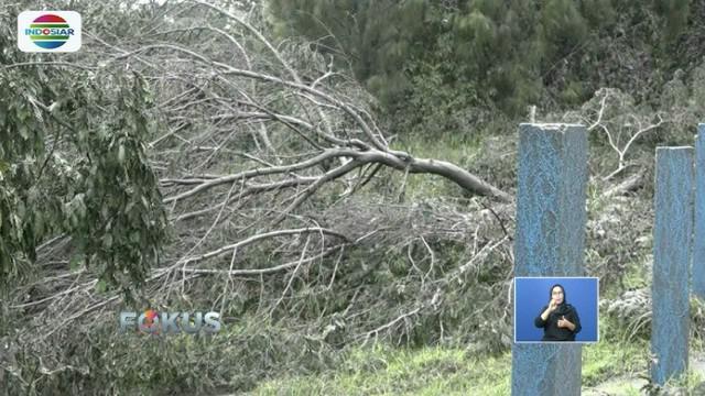 Abu vulkanik Gunung Bromo rusak sejumlah pohon lantaran tak mampu menahan ketebalan abu. Selain itu, ratusan jenis tanaman khas juga terancam keberadaannya.
