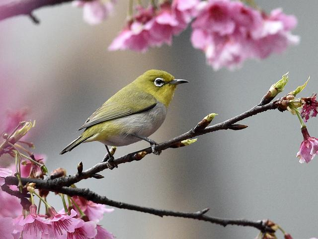 7 Jenis Burung Pleci Yang Bagus Suara Indahnya Cocok Untuk Ikut Lomba Hot Liputan6 Com