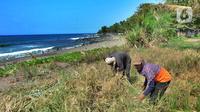 Petani melakukan panen padi jenis Ciherang di kawasan Pantai Sukawayana, Pelabuhan Ratu, Sukabumi, Minggu (1/12/2019). Saat ini harga gabah kering mencapai Rp 5600/ kg dari harga semula Rp Rp 4700/kg. (merdeka.com/Arie Basuki)